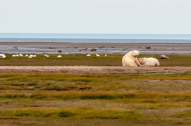 Polar bears near Hudson Bay in Manitoba, Canada
