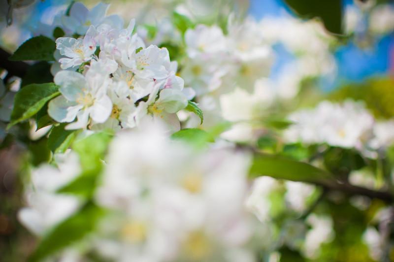 Mostviertel - Baumblüte (oder das, was noch übrig war)