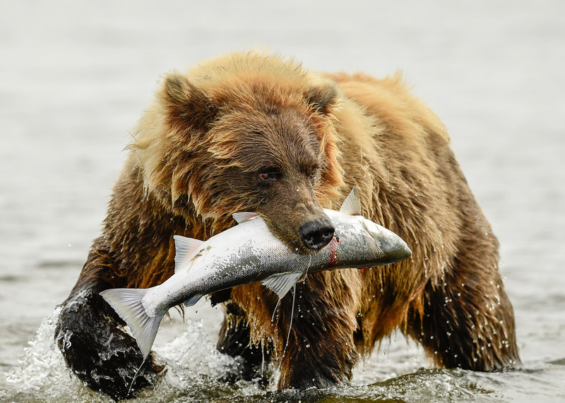 Alaska Brown Bear with Silver Salmon