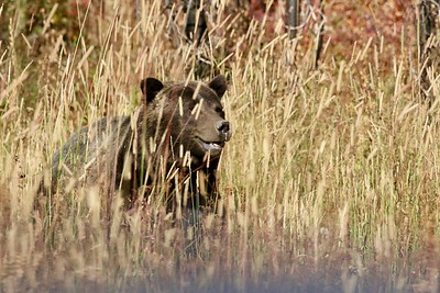 Wildlife Watching in Grand Teton and Yellowstone National Parks, Road Scholar