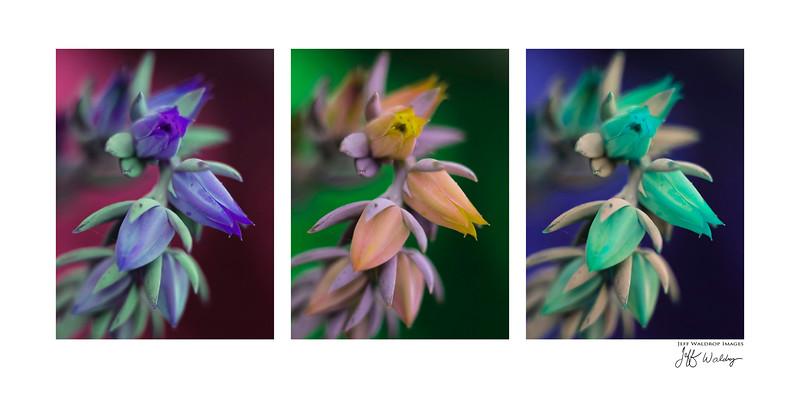 succulent tri.jpg