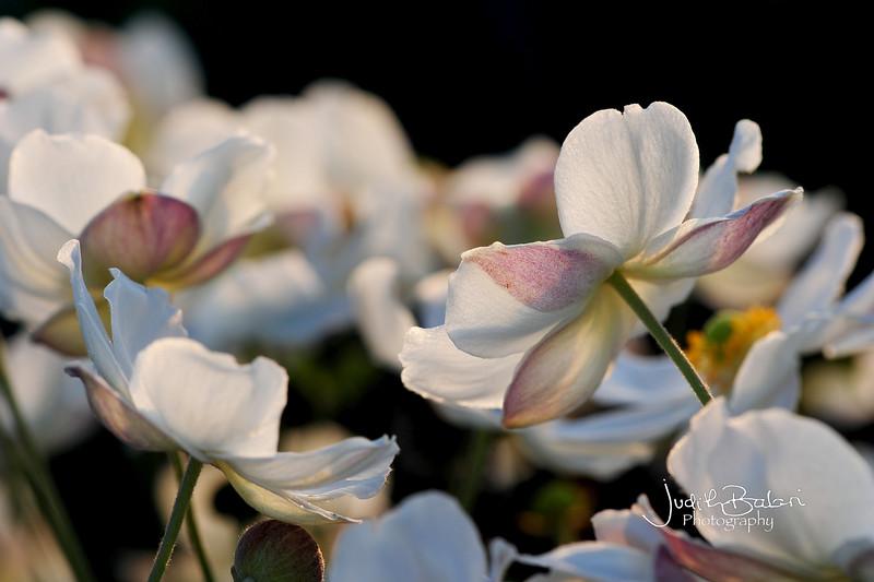 rosas-anemonas 036.jpg