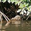 Young American crocodile in San Blas Tovara mangroves