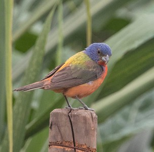 Painted Bunting at TRV Community Gardens 8-17-18