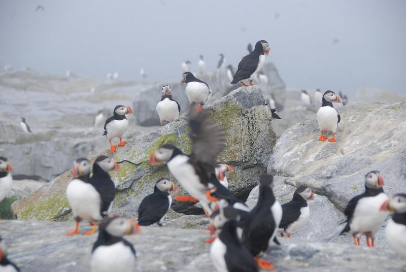 Machias Seal Island Trip - 081