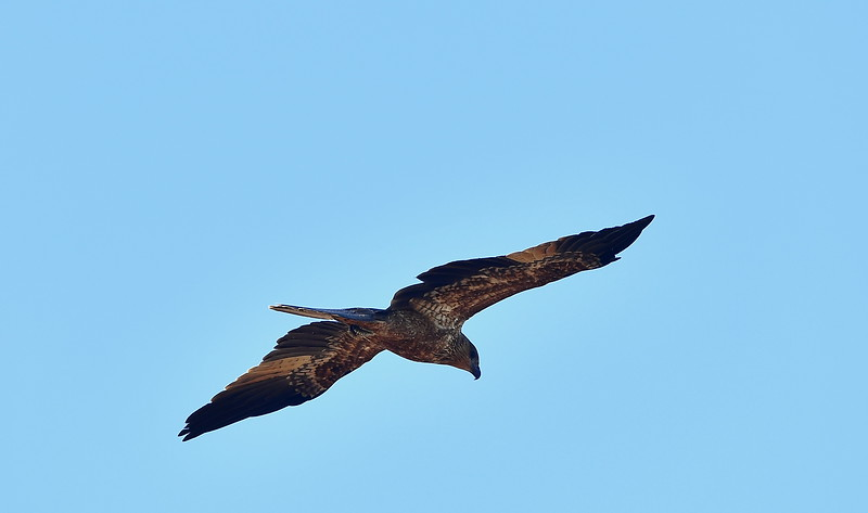 Bird attack (Magpie v Ibis, Hawk v Crow)