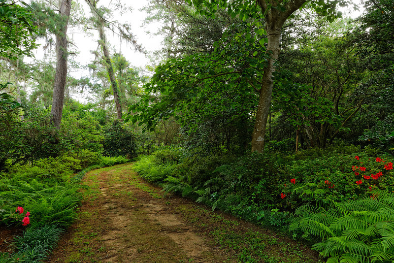 Lush green path in the Gardens with ferns, longleaf pines, vines, deciduous trees, and a few encore azalea blooming in the summer