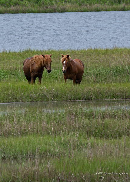 Assateague Horses 9528.jpg