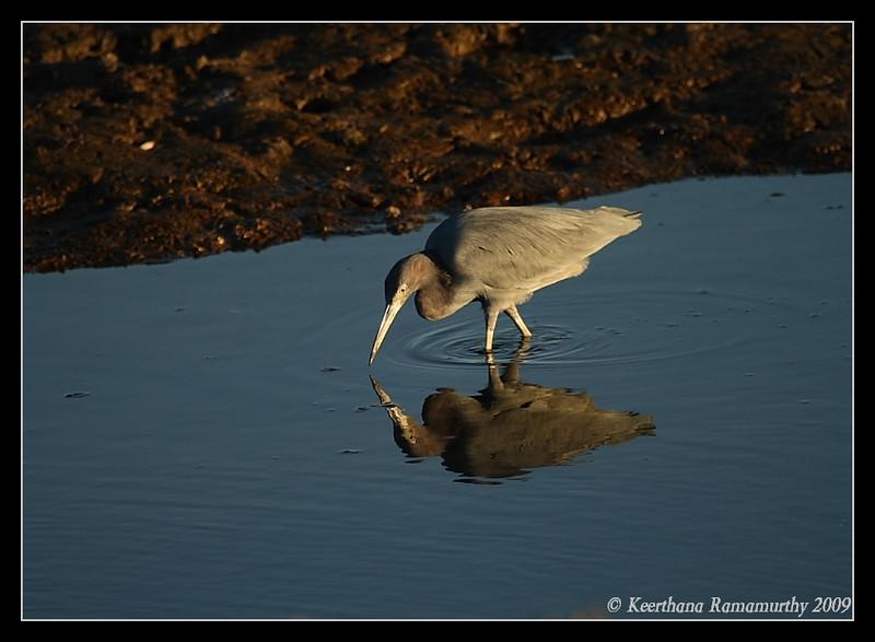 Little Blue Heron, Tijuana River Estuary, San Diego County, California, January 2009
