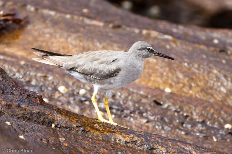 Wandering Tattler at Punta Vicente Roca, Isabela, Galapagos, Ecuador (11-24-2011) - 860.jpg