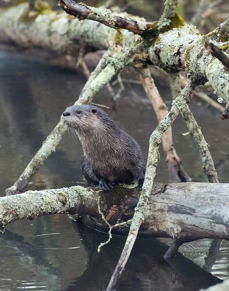 river otter 01.jpg