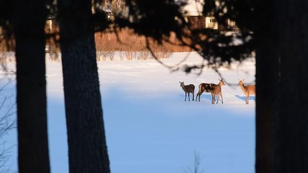 Kronhjortar - Red deer