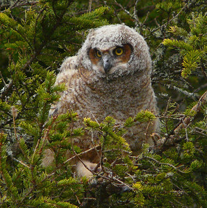 Great Horned Owl family 6