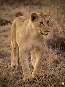 Golden sub adult lion