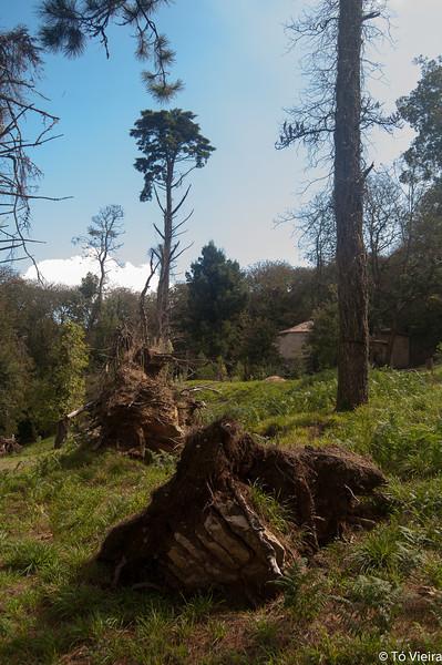 Real Fabrica do Gelo árvores arrancadas por um tufão