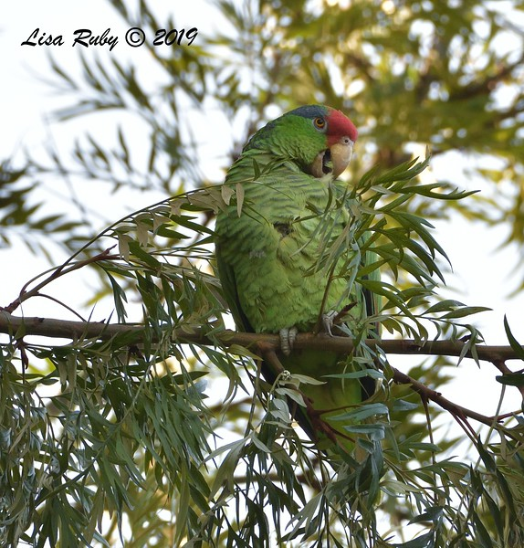 Red-crowned Parrot  - 12/01/2019 - Lindo Lake