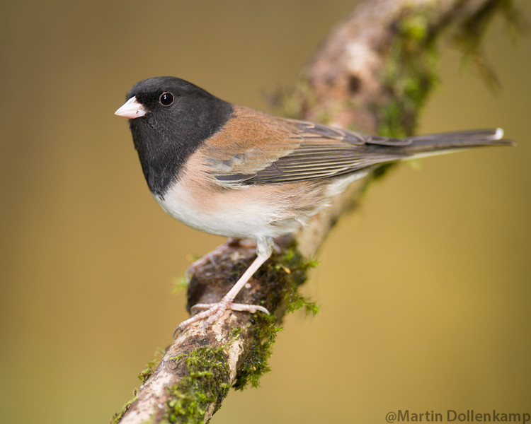 Dark-eyed Junco male Oregon
