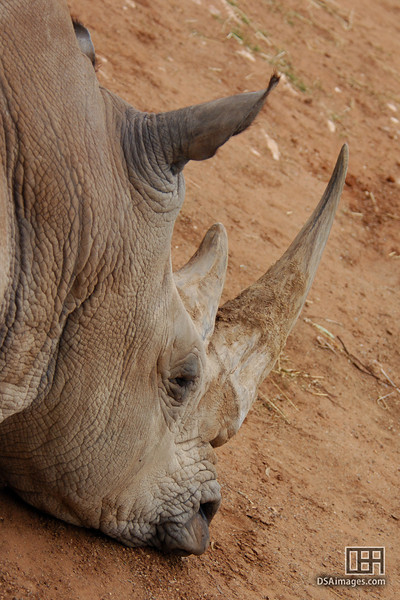 White Rhinoceros at rest