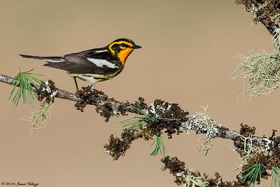 Blackburnian Warbler, Dendroica fusca