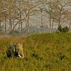 Asian or Asiatic Elephant (Elephas maximus) in the grasslands of Kaziranga national park in Assam