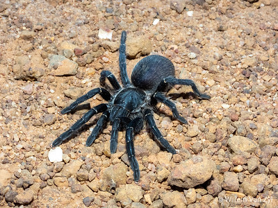 Common Black Baboon Spider (Harpactira atra)