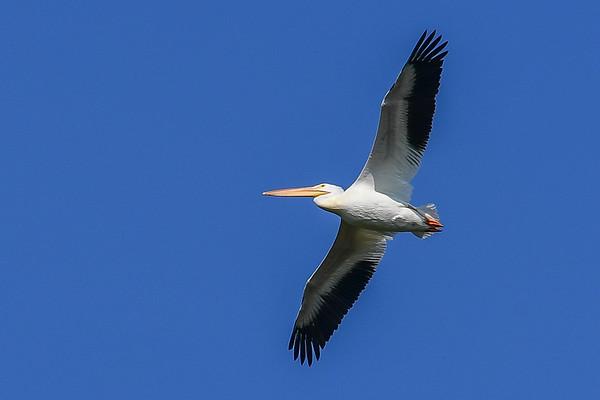 7-21-17 **American White Pelican