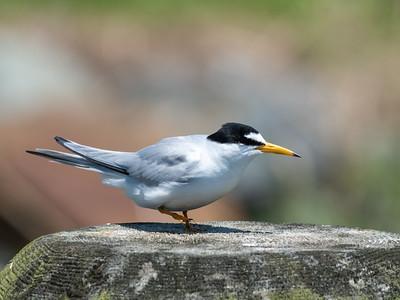 Terns 19 May 2019