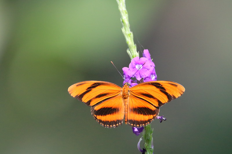 Banded Orange Heliconian Butterfly in Costa Rica