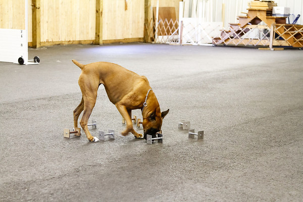 MWBC Boxer Specialty Obedience