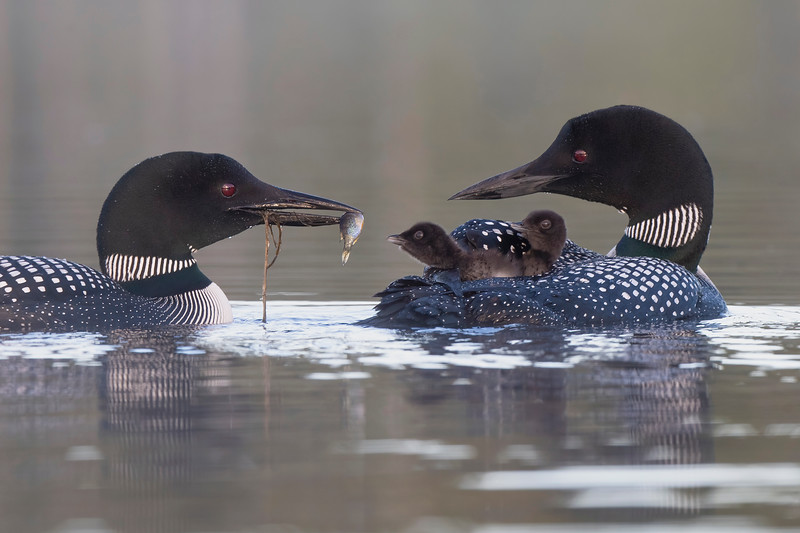 #1547 Common Loons