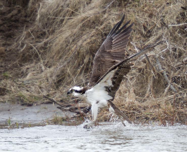 Osprey hunting near Soda Butte Yellowstone National Park WY IMG_0309.jpg