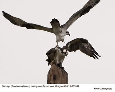 Ospreys P68533.jpg