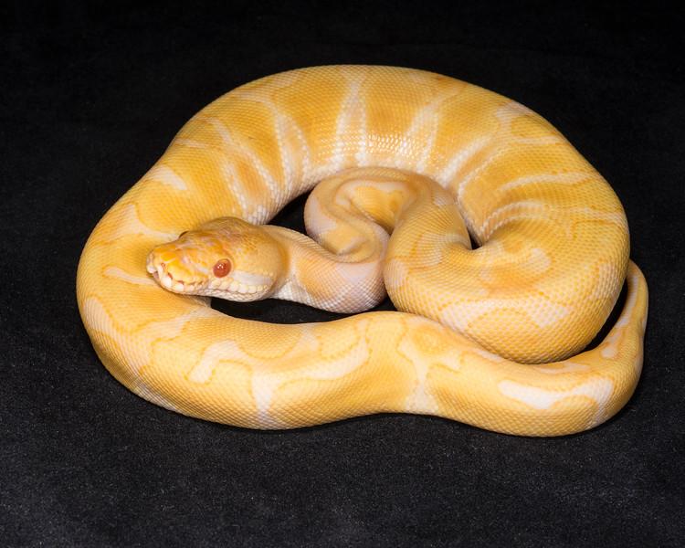 1847_M Enchi Albino, $175