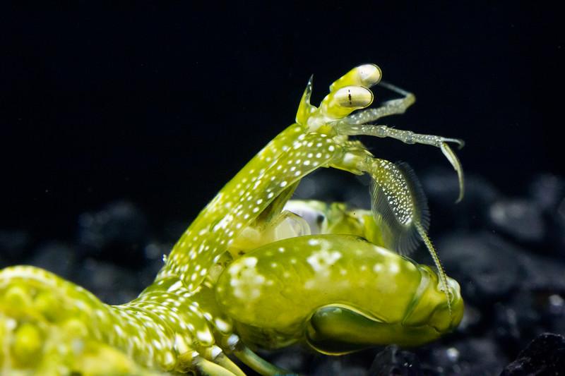 Neogonodactylus oerstedii