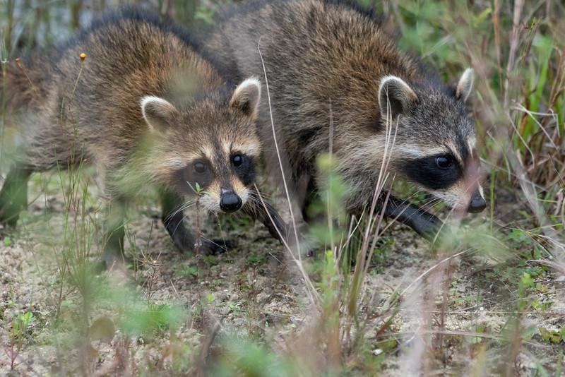 Racoon Siblings