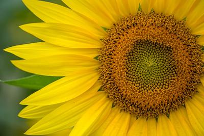 sunflowers :: 2021