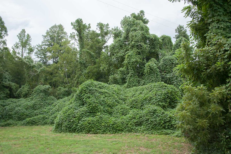 Summer view of kudzu covered house shown in previous slide. When  I first saw this kudzu formation I had no idea there was a house under there!