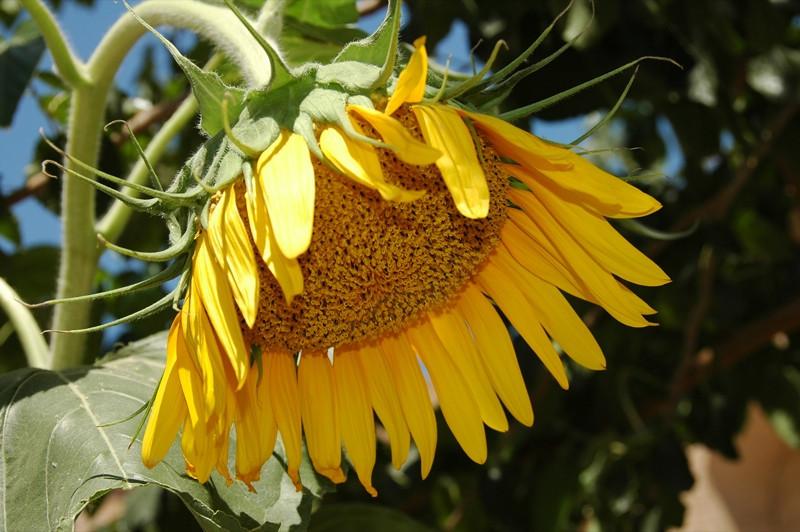 Sunflower - Khiva, Uzbekistan