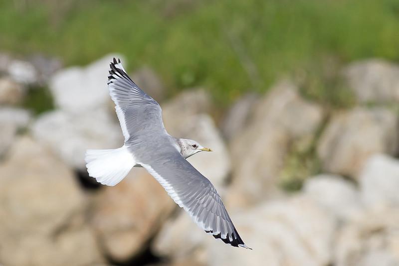 Mew Gull Adult