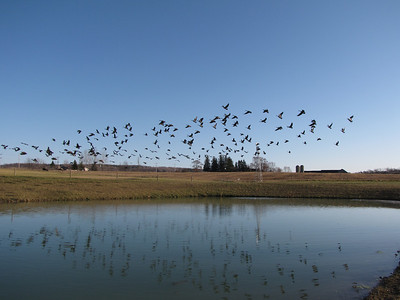 20091117 Canada Goose