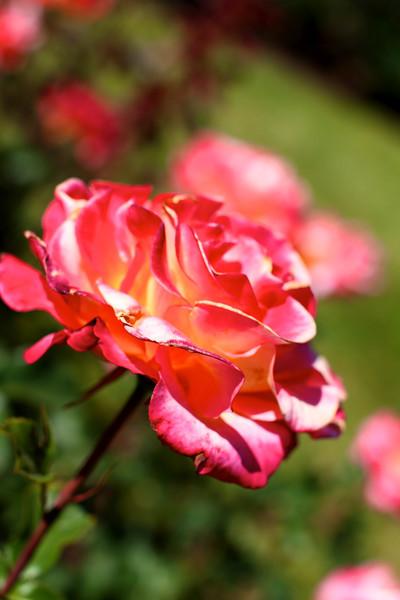 Portland International Rose Test Garden  2191.jpg