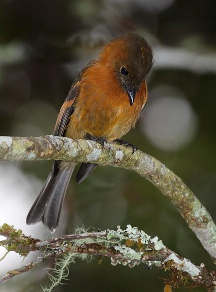 Flycatcher Ecuador