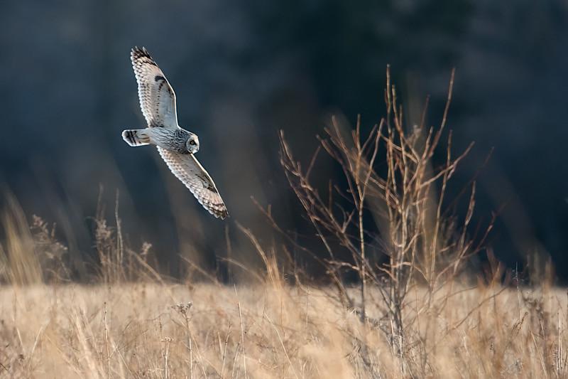 #916 Short-eared Owl