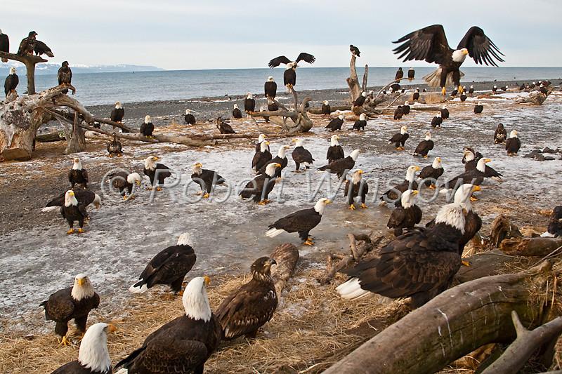 Bald Eagles, Haliaeetus leucocephalus, Homer,  Kenai Peninsula, Alaska