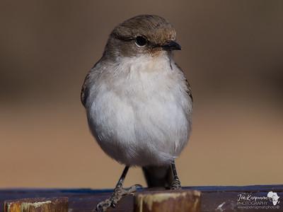 Marico flycatcher close up