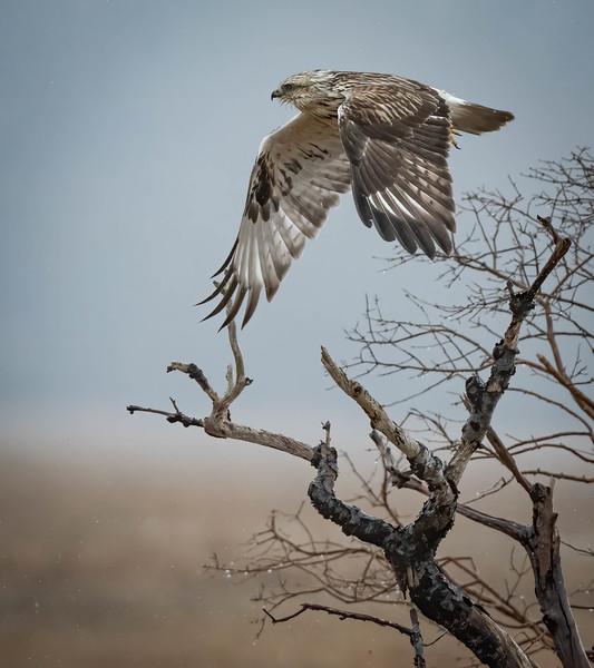 _5004290-Edit Rough-legged Hawk wings down.jpg