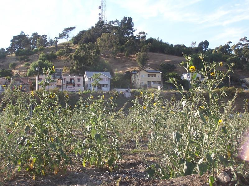 2005-06_LosAngelesStateHistoricPark-Sunflowers03.jpg