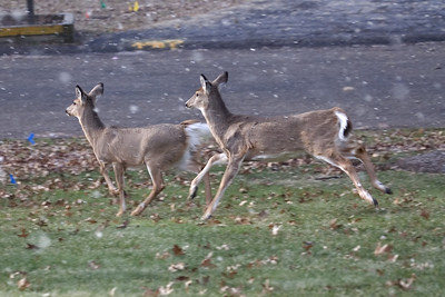 Deer in the Front Yard!