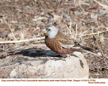 Gray-crowned Rosy-Finch M77783.jpg