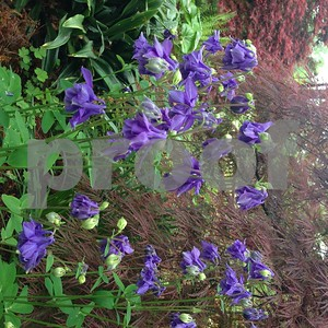 columbines-add-beauty-to-spring-landscapes